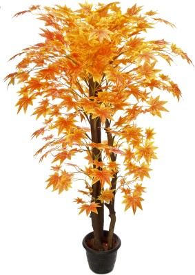 Kusal 3 orange maple