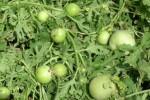 E plant Edible Vegetable
