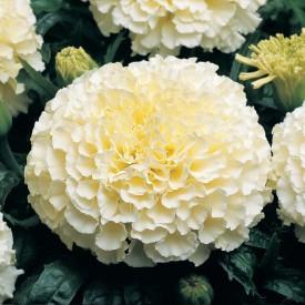Omaxe Marigold Vanilla White, 10seeds*3pkts Seed