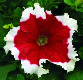 Futaba Red Petunia Flower With White Sides Seed