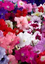 Real Seed Petunia Mixed Hybrid Imported Flower Seeds