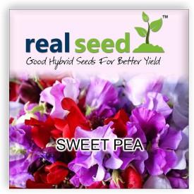 Real Seed Sweet Pea Hybrid Imported Flower Seed