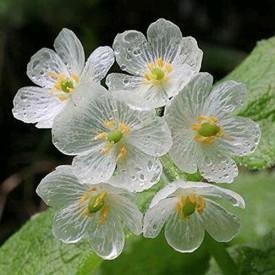 Futaba Clear Flower Seed