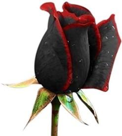 Futaba True Blood Black Rose Flower Seed