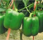 Omaxe Capsicum Green imported 100seeds*4pkts