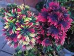 Saaheli Flower Coleus Blumei 23