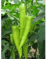 Omaxe Pepper Achari Hybrid Vasudha 50seeds*4pkts