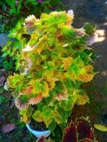 Saaheli Flower Coleus Blumei 16