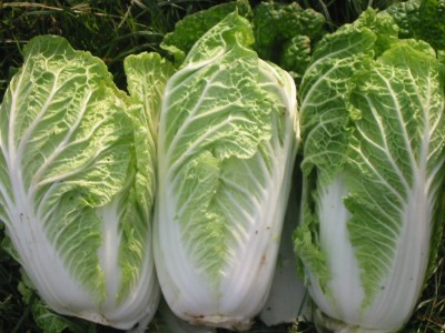 Images of Cabbage Plant e Plant Chinese Cabbage Seeds
