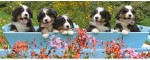 Ravensburger Puzzles Ravensburger Bernese Mountain Dogs